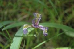 purdon-iris-1